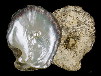 PEARL OYSTER SHELLS